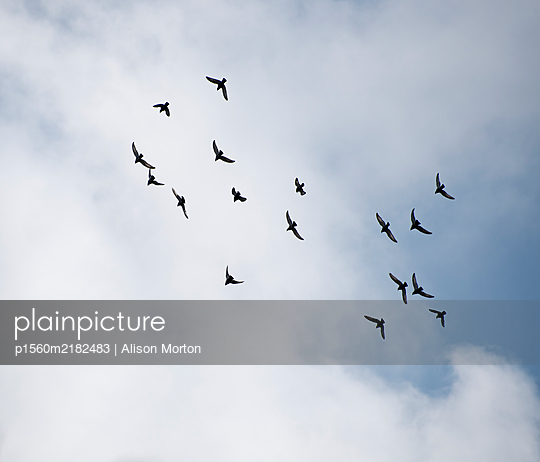 Homing Pigeons in flight - p1560m2182483 by Alison Morton