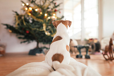 Jack Russel Terrier sitting in front of Christmas tree - p300m2059159 by Katharina Mikhrin