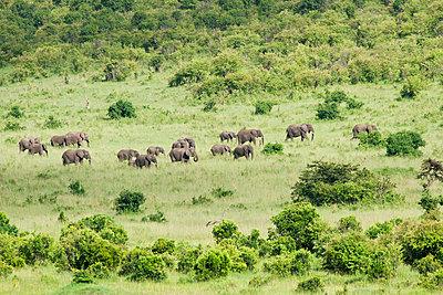 Elefantenherde - p533m1152709 von Böhm Monika