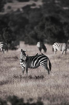 Herd of zebras, Kenya - p706m2158456 by Markus Tollhopf