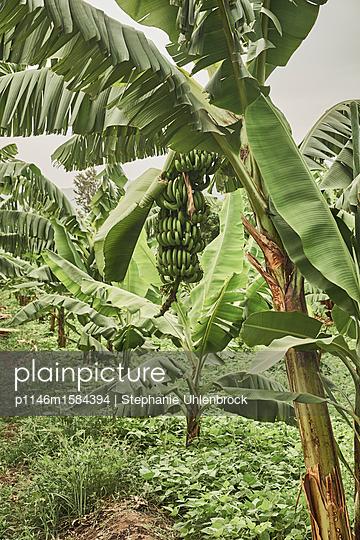 Bananenbaum  - p1146m1584394 von Stephanie Uhlenbrock