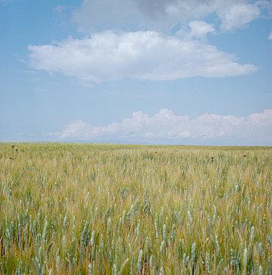 Blue sky over cornfields - p1468m1558919 by Philippe Leroux