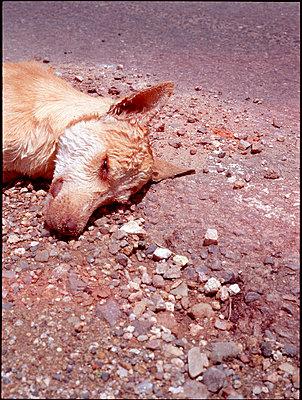 Toter Hund auf einer Landstrasse in Mexiko - p9793335 von Ziegler