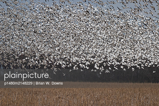 Thousands of Snow Geese blast off from a field - p1480m2148229 by Brian W. Downs