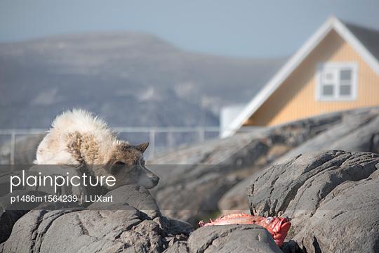Schlittenhund vor Inuit-Siedlung, Uummannaq - p1486m1564239 von LUXart