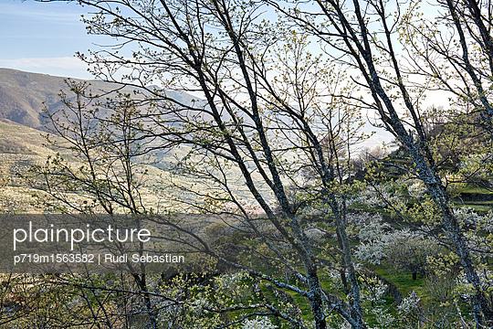 Cherry blossom in Jerte valley - p719m1563582 by Rudi Sebastian