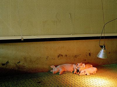 Arme Schweine - p1064m814697 von Esmeralda