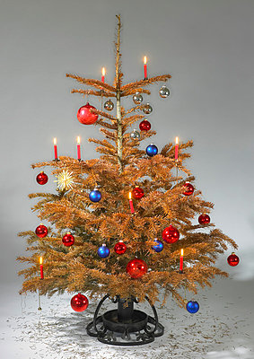 Dry christmas tree - p509m786312 by Reiner Ohms