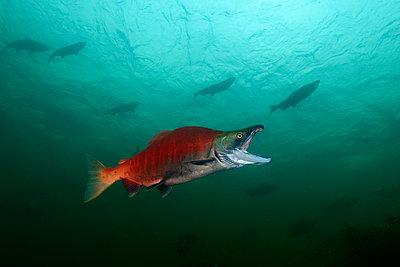 California, British Columbia, Adams River, Sockeye salmon, Oncorhynchus nerka - p300m2083330 by Gerald Nowak