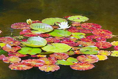Lily Pond At Shore Acres State Park; Coos Bay Oregon United States Of America - p442m699897f by Craig Tuttle
