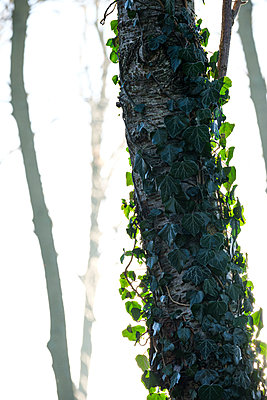 Fresh ivy on the bark of a tree - p1057m2237826 by Stephen Shepherd