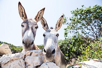 Portrait of two donkeys - p300m1470081 by Roman Märzinger