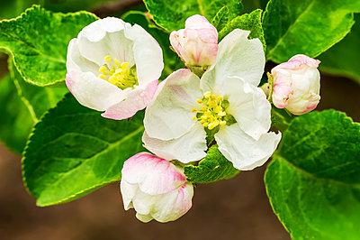 Close-up of apple blossoms on a tree; Calgary, Alberta, Canada - p442m2176968 by Michael Interisano