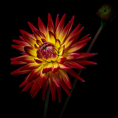 Dahlia blossom in yellow and red shades - p587m2115462 by Spitta + Hellwig