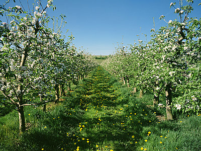 Apple trees - p324m943359 by Alexander Sommer