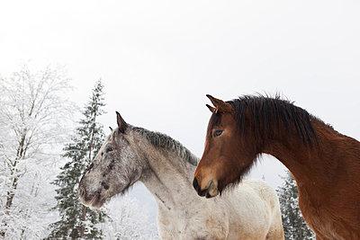 Zwei Pferde im Winter - p435m755207 von Stefanie Grewel