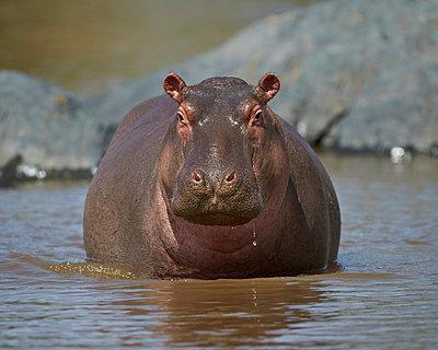 Hippopotamus (Hippopotamus amphibius) in shallow water - p871m874639f by James Hager