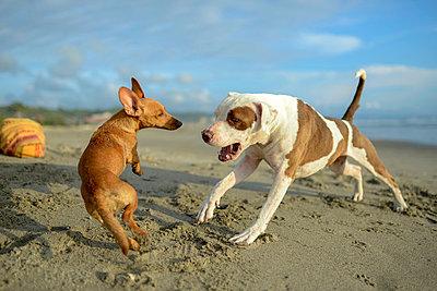 Dogs playing on beach - p924m2077818 by Sara Monika