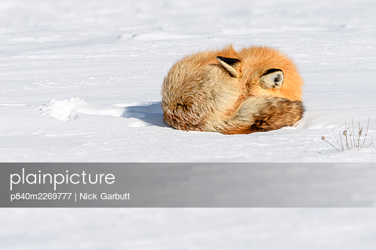 Red fox (Vulpes vulpes) sleeping on snow. Hayden Valley, Yellowstone, USA. January - p840m2269777 by Nick Garbutt