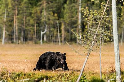 Schwarzbär (Ursus americanus) - p1241m2100369 by Topi Ylä-Mononen