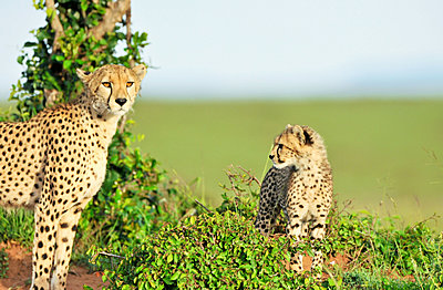 Cheetah with young - p533m1120360 by Böhm Monika
