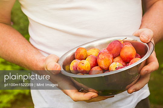 Close up of person standing outdoors, holding metal bowl with fresh yellow and red plums. - p1100m1522359 by Mint Images