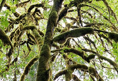 Vermooster Baum - p240m1207243 von Valerie Wagner