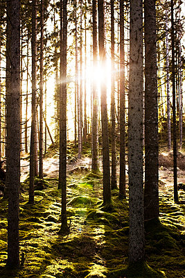 Forest with moss on the ground - p575m1074662f by Peter Rutherhagen