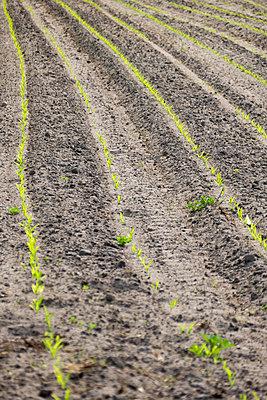 Field with seedlings - p739m1138432 by Baertels