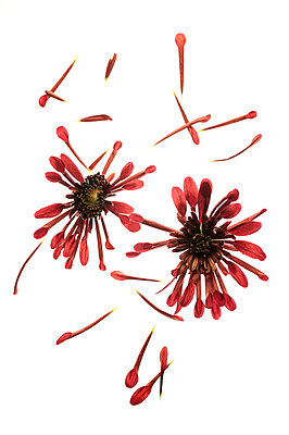 Flowers and petals - p971m2055307 by Reilika Landen