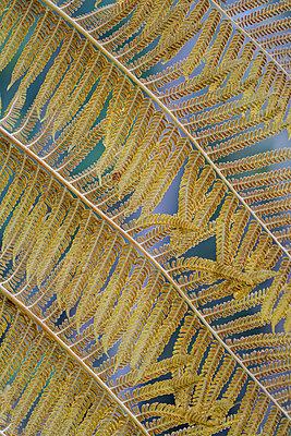 Fern leaf - p1600m2175606 by Ole Spata