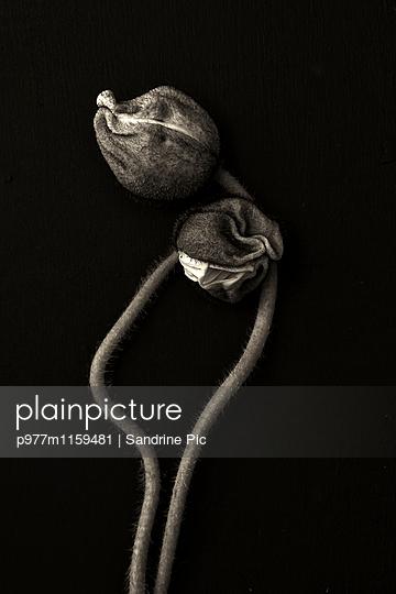 Zwei Mohnblumen auf schwarzem Hintergrund - p977m1159481 von Sandrine Pic