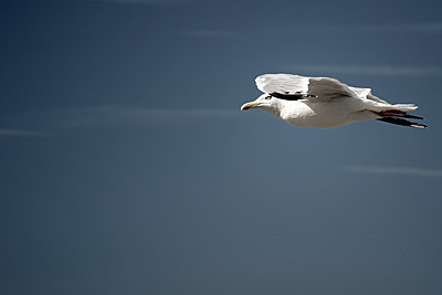 Seagull at flight - p1137m1154996 by Yann Grancher