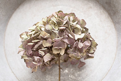 Dried hydrangea head - p1470m1539160 by julie davenport