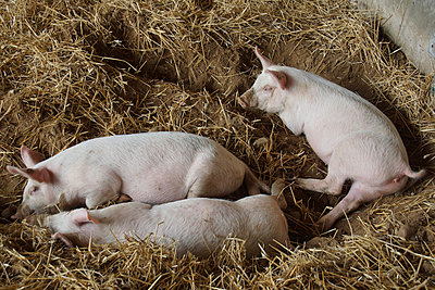 Three pigs - p162m1034806 by Beate Bussenius