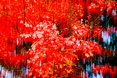 Germany, Maple tree in autumn, abstract - p300m2042108 by Thomas Jäger