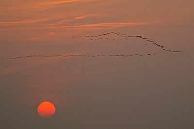 Germany, Mecklenburg-Western Pomerania, Common cranes, Grus grus, at sunrise - p300m929897f by Hans Clausen
