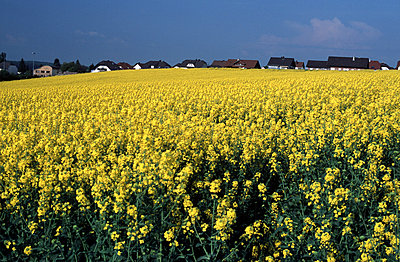 Blooming colza field - p2681692 by Andres Wertheim