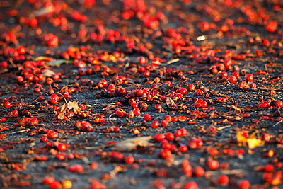 Germany, Rowanberries in the morning light - p300m981720f by Thomas Jäger