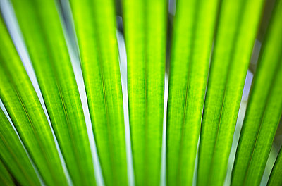 Hawaii, Oahu, Macro Detail Of Palm Frond. - p442m860403 by Charmian Vistaunet photography