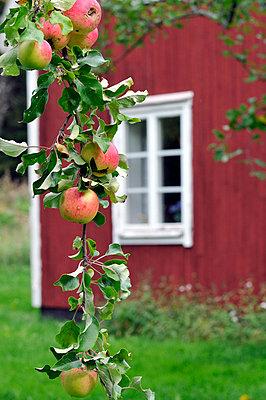 Apple tree in a garden, Sweden. - p5755439f by Stefan Ortenblad