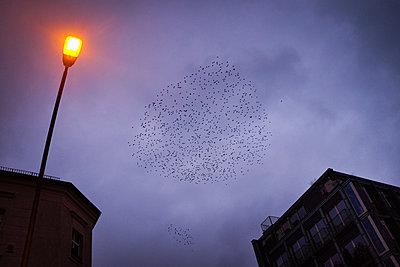 Vogelschwarm am Abendhimmel, Berlin Wedding - p627m1035428 von Christian Reister