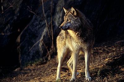 Wolf im Bayerischen Wald - p3300390 von Harald Braun