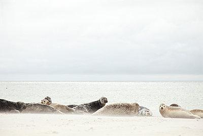 Seehunde am Strand - p249m1055104 von Ute Mans