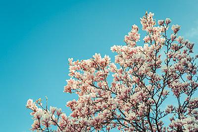 Magnolia - p750m1138808 by Silveri