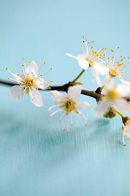 Small White Blossoms on Branch - p1248m1562043 by miguel sobreira