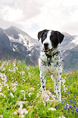 Aufmerksamer Mischlingshund - p533m1496790 von Böhm Monika