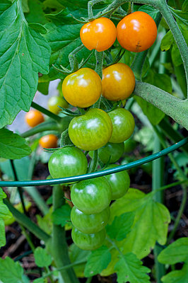 Close-up of growing cherry tomatoes, Halifax, NovaÂ_Scotia, Canada - p343m2025967 by Joseph De Sciose