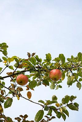 Reife Früchte - p454m764429 von Lubitz + Dorner