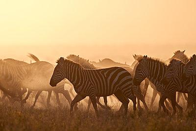 The Migration, common zebra (plains zebra) (Burchell's zebra) (Equus burchelli), Serengeti National Park, Tanzania, East Africa, Africa - p871m1498488 by James Hager
